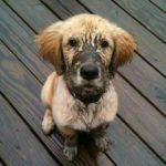 MuddyPup - PureClean Carpet Cleaning Seattle